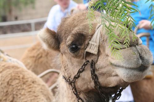 Camel Mustache