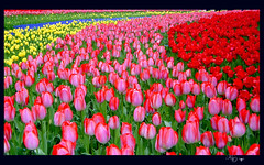 The Tulip Symphonyop.2 (Marie Eve K.A. (Away)) Tags: pink red plants flower colour love nature field japan spring flora bravo colorful mother tulip botanic lovely  soe myparents  mymother goldenheart takeabow   blueribbonwinner firstquality    colorphotoaward infinestyle citrit  overtheexcellence colourartaward goldstaraward peachofashot  goldenheartaward 08y4m9d160405