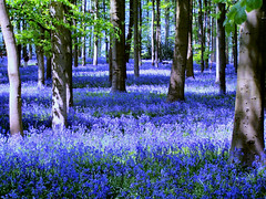 Bluebells, Coton Manor Gardens (kev747) Tags: uk flowers trees england gardens bluebells spring woods kodak northamptonshire coton wildflowers manor midlands bluebellwoods cotonmanor cotonmanorgardens