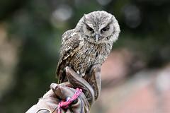 Tropical Screech Owl (Bri_J) Tags: tropicalbutterflyhouse northanston sheffield southyorkshire uk butterflyhouse yorkshire nikon d7200 tropicalscreechowl owl bird birdofprey sigma150600mm