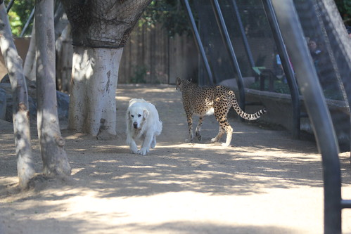 Cheetah and Dog! They are friends.
