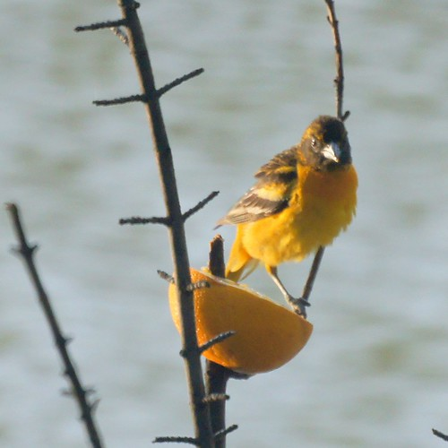 Baltimore Oriole on an Orange