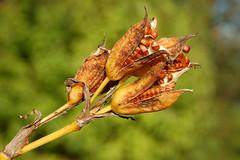 Yellow Flag Iris - Seed Pods