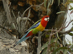 A Much Sought After Wild and Free Eastern Rosella! (ianmichaelthomas) Tags: friends birds parrots ltu latrobe rosellas latrobeuniversity animaladdiction australiannativebirds easternrosellas mywinners wildlifeofaustralia animalcraze anawesomeshot worldofanimals auselite bundooravictoriaaustralia flickrlovers vosplusbellesphotos flickrsbestcreatures