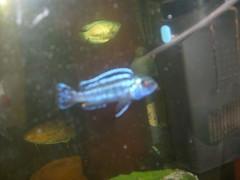 fish aquarium fishtank tropical gourami tropicalfish cichlid dwarfgourami communityfish moonlightgourami