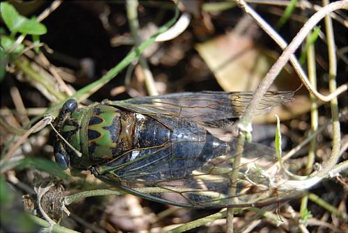 Cicada - 2
