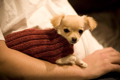 Loves Her New Sweater (anxiousdog) Tags: dog chihuahua wool barley puppy sweater knitting knit yarn projects fo barlow dogsweater knitpicks barlowgirl wooloftheandes longcoatchihuahua babybarlow puppysweater yarntheif