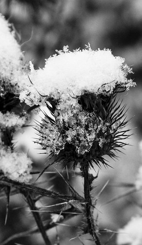 Thistle in first snow - B&W