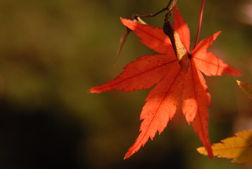 autumn leaf(red)