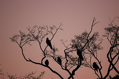 Crows (Nam2@7676) Tags: winter sunset bird silhouette japan tokyo evening pentax   crow nam2 silkypix sigma70300apo  kmount 7676 70300mmapodgmacro k100d  justpentax nam2at7676 yasunarinakamura  nam27676