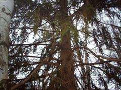 Spot the red (hugovk) Tags: camera november autumn winter red tree digital silver suomi finland helsinki squirrel spot redeye birch helsingfors hvk talvi 2007 silverbirch syksy redsquirrel uusimaa nyland pitjnmki marraskuu pitajanmaki hugovk imag2311 exif:ISO_Speed=50 sockenbacka digitalcamerads5mp exif:Exposure=130 exif:Exposure_Bias=0100 exif:Aperture=300100 exif:Flash=25 ds5mp camera:Model=ds5mp camera:Make=digitalcamera exif:Orientation=1 exif:Focal_Length=770100 spotthered meta:exif=1364139961