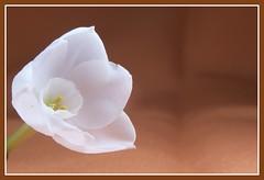 Spring in December / Decemberi tavasz (butacska) Tags: flowers macro closeup photo sony photograph paperwhites daffodil bulbs termszet fotzs makr nrcisz goldenmix sonyalpha termszetfot kzelkp hagyms