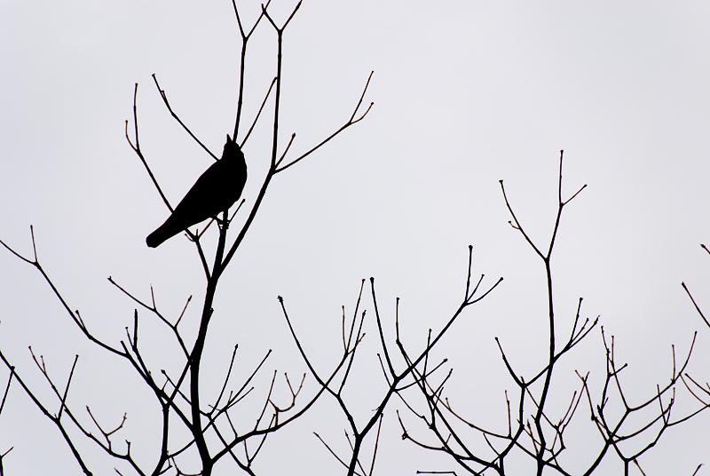 BWS_Raven