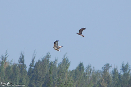 東方澤鵟 (Eastern Marsh Harrier) vs 大鵟 (Upland Buzzard)