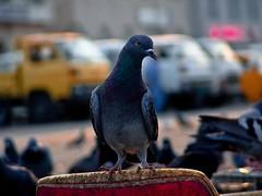 صديقتي الصغيرة :P (| Rashid AlKuwari | Qatar) Tags: old pigeon mosque masjid doha qatar rashid مسجد راشد الدوحة قديم حمام حمامة rashod الكواري alkuwari القبيب lkuwari بالقبيب