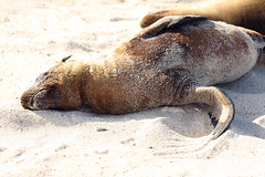 Sea Lions on the Beach (Seymour, Galápagos, Ecuador) Photo