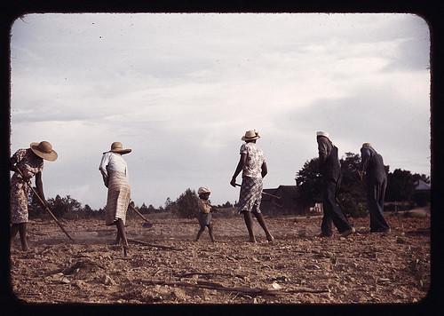 Chopping cotton on rented land near White Plains, Greene County, Ga. (LOC)