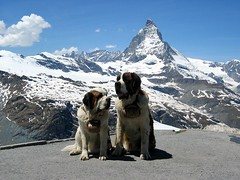 Bernie and Minnie (BlackCatBabe) Tags: blue winter two sky italy hairy cliff dog mountain snow mountains alps cold cute ice dogs beer beautiful grass saint st bernard point switzerland big nice furry scenery couple warm europe skiing shadows symbol hiking swiss postcard peak icon calm glacier fave alpine cuddle mountaineering faves zermatt matterhorn bernie minnie breed spiritual relaxed majestic keg strategy lifesaver ch bernardine myfaves mountainsalps rescuer riffelalp elevation40004500m altitude4478m summitmatterhorn 2faves twoormorefaves