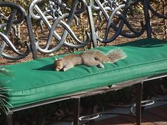 Squirrel under the sun (liangjinjian) Tags: winter usa nature animal smithsonian dc washington squirrel olympus sunbath fave urbannature 2008 institution  u750