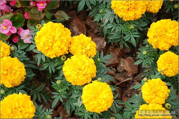 DSC_6499菊花
