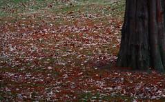 Leftovers (jessicaalove) Tags: tree leaves digitalrebelxti
