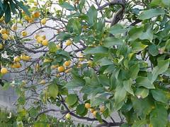 Limoni, lemons, Zitronen