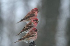 "Purple Finches by Scott Evans (Scott ""Burns"" Evans) Tags: county birds scott evans purple nest indiana feeder finch monroe february crows 2008 birdwatcher ias avianexcellence diamondclassphotographer diamonclassphotographer naturewatcher"