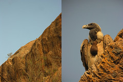 Power of Digiscoping (bv_madhukar) Tags: vulture digiscoping digiscoped ramanagaram