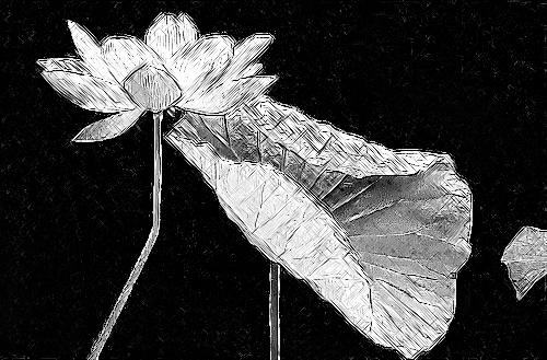 Lotus Flower Sketch - IMGP3640