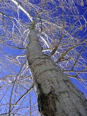 looking up (imthinkingoutloud) Tags: wood blue winter sky tree nature up outdoors branches bluesky tall clearsky photofaceoffwinner photofaceoff pfogold friendlychallenge imthinkingoutloud