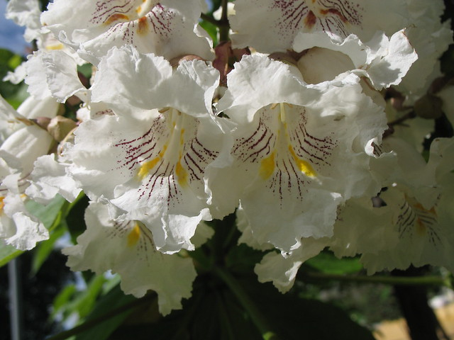 Photo: Catalpa 'nana'
