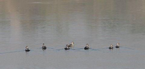 spot-billed ducks TGHalli 020308