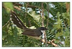 นกอีแพรดแถบอกดำ Pied Fantail