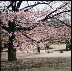 (otarako☺︎) Tags: 6x6 film japan tokyo 新宿御苑 寒桜 pentaconsix shinjukugyoennationalgarden ptsixtl 会社サボり