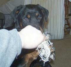 Sassy (muslovedogs) Tags: dogs sassy rottweiler sage zeusoffspring
