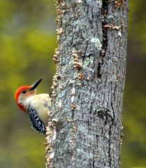 Woodpecker 2 (pjnr56) Tags: birds newjersey nikond50