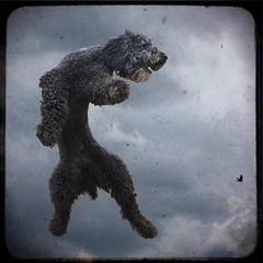 Gonna Catch a Fly Ball (Olga Gerrard) Tags: interestingness jump explore darby standardpoodle 13yearsold envyofflickr olgagerrard theunforgettablepictures betterthangood
