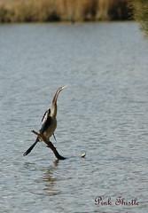 I'm a stick... really... (Pink Thistle) Tags: bird waterbird darter australianbird anhingamelanogaster australianwaterbird