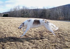 A fun run at the lake (Ferlinka Borzoi (Deb West)) Tags: dog lake rose valley russian sighthound borzoi wolfhound
