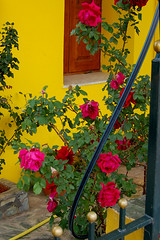 Scenes from the village of Vamos on the Greek island of Crete (Peace Correspondent) Tags: roses beautiful d50 gate landscaping culture patio greece crete vamos rosebush redroses yellowhouse greekisland fv15 views800 apokoronas peacecorrespondent exteriorwalkway