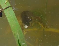 Mom's Salamander