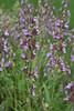 Sage II (RVing Gal) Tags: flowers purple herbs sage 7daysofshooting shootanythingsunday week45flowersandshrubs