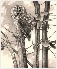 'Chestnut Tree and Tawny' - Tawny Owl - Fine Art Pencil Drawings - Signed Open Edition Print - 0nly 8.99 ($17.00)  www.drawntonature.co.uk (kjhayler) Tags: pictures bird art birds night woodland painting photo european photos drawing paintings picture drawings naturalhistory raptor owl prints chestnut british eurasian britishwildlife raptors owls birdsofprey birdofprey chestnuttree tawny falconry animalart wildanimals animalprints birdlife coppice wildbirds tawnyowl wildlifeimages woodlandbirds drawingpictures animalpictures wildlifeart wildbird nightowl britishbirds wildlifephotography birdart wildlifephotos animalphotos animaldrawings wildlifeartists naturepictures birdphotos birdpictures owlpicture europeanbirds owlart owlphoto picturesofowls tawnyowls wildlifeportraits wildpictures animalspictures owlphotos openedition birdsofbritain wildlifeartist wildlifedrawings drawingphotographs kevinhayler owlsoftheworld britishowls owlspictures owlpictures pictureswildbirds owlimages