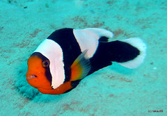 Saddleback clownfish, Okinawa Japan