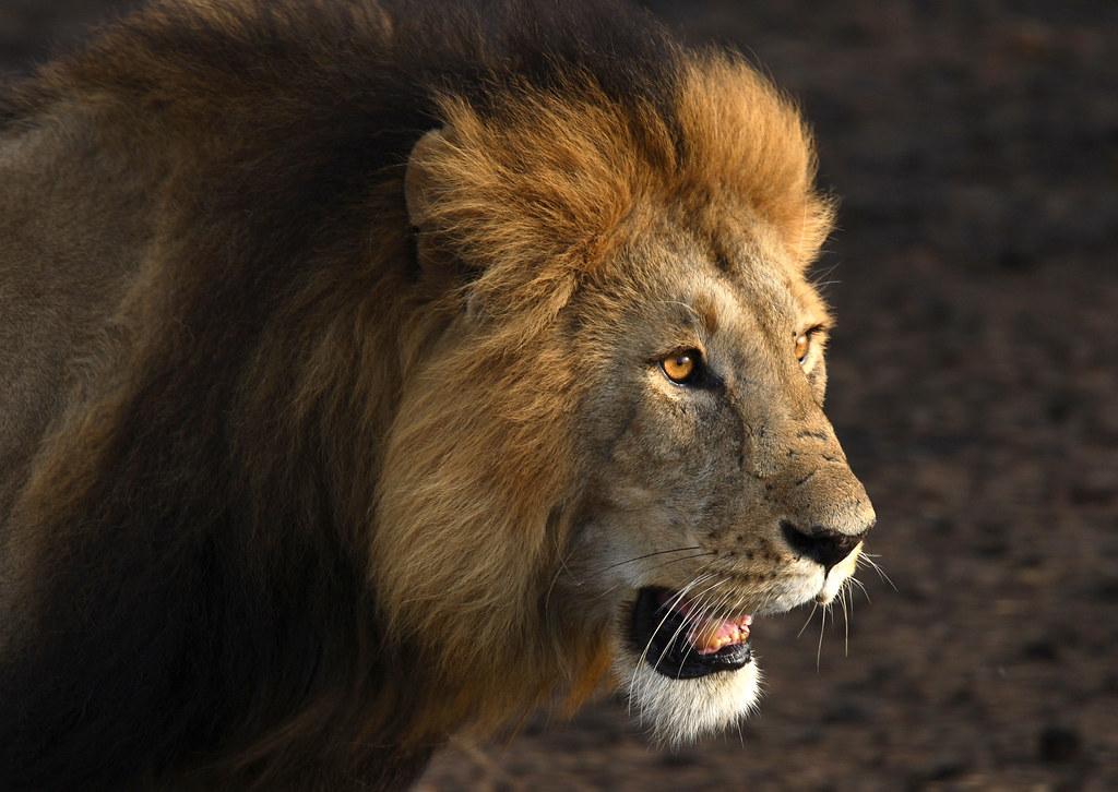 Lion - Male in the Mara