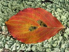 dogwood on lichen