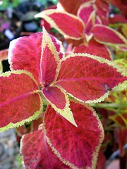Coleus 'Copper Glow'