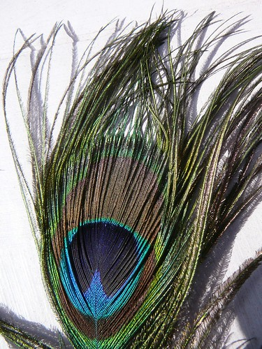 peacock-1110577