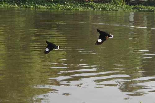 White-vented Mynas over the Chao Phraya River