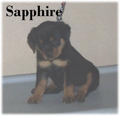 s2 (muslovedogs) Tags: dogs puppy rottweiler teaara zeusoffspring